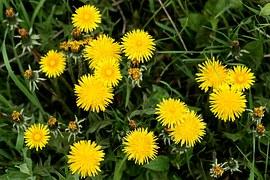 dandelion-1331033__180